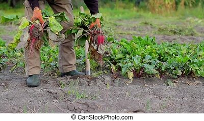 Agronomist harvests. Harvest beet. - Elderly man gather...