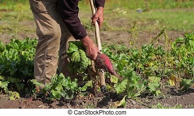 The old man harvests. Grandpa digging beets. Elderly man...
