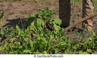 Good crop of vegetables - Grandfather harvests on his field...