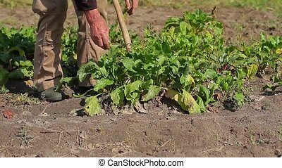 Grandfather digging the beets Old farmer gather beets on his...