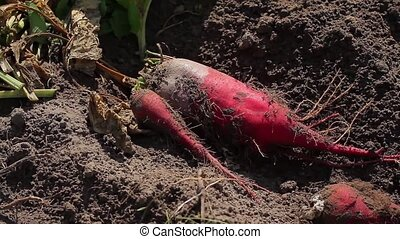 Gathering beets. Farmers harvest. - Beets lay on the ground....
