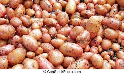 Clean sorted potatoes Good crop of potatoes Potatoes storage...