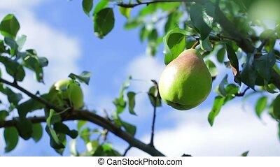 Pear hanging on the tree.