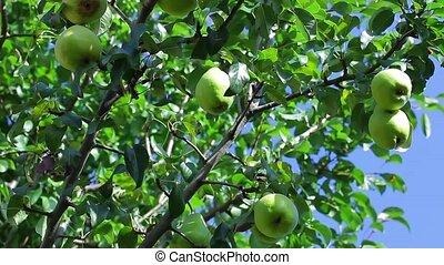 Agronomists tear the pears. - Fruit garden. Agronomists tear...