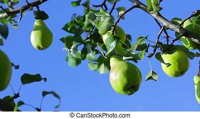 Ripe pears hanging on the tree.