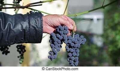 Old man holding a branch of grapes.