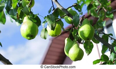 Pears on the background of the house.