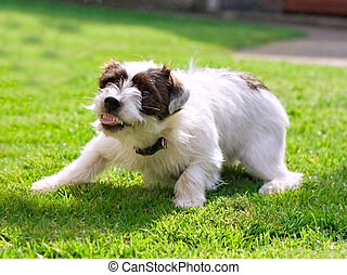 Jack russell - A small Jack Russell terrier crouching down...