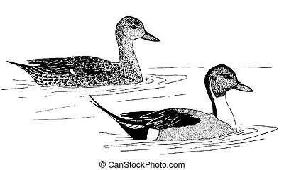 Northern Pintail - Anas acuta - pair