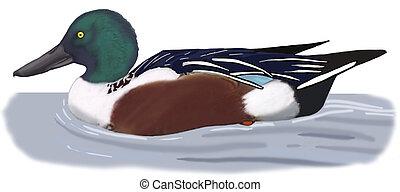 Northern Shoveler - Anas clypeata - male