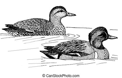 Green-winged Teal - Anas crecca carolinensis - pair