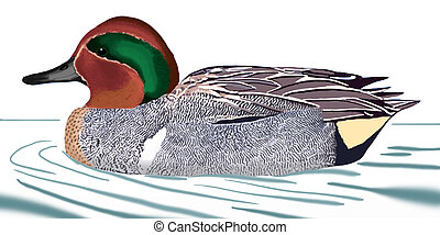Green-winged Teal - Anas crecca carolinensis - male