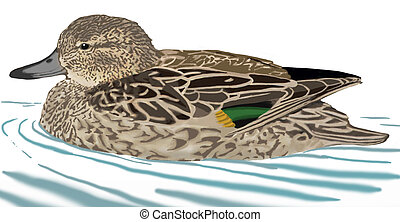 Green-winged Teal - Anas crecca carolinensis - female