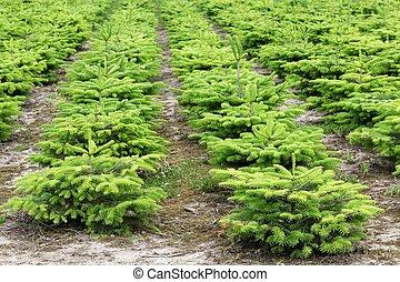 Nordmann fir plantation in Denmark