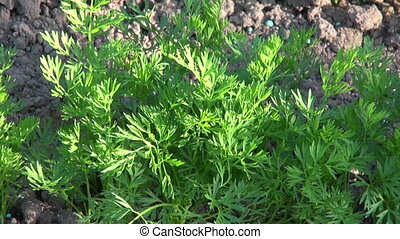 Freshly weeded carrots in garden - Freshly weeded carrots in...