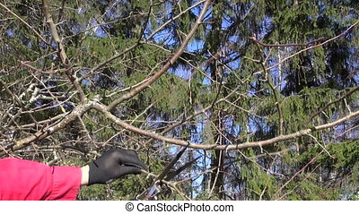 pruning apple tree in spring - Gardener in black gloves and...
