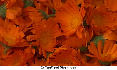 Freshly picked calendula flowers - Freshly picked calendula...