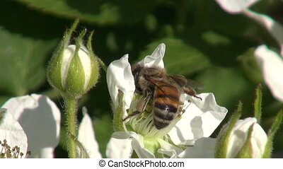 Flowering blackberry with bee pollinating it
