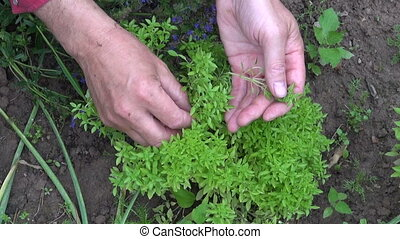 gardener picking fresh basil