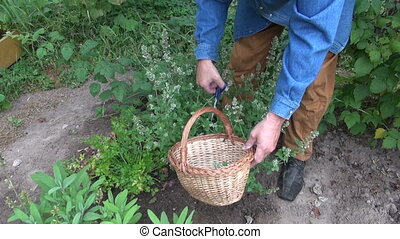 gardener collecting fresh mint balm - Man gardener...