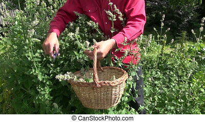 Man collecting fresh lemon balm - Man gardener collecting...