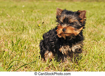 puppy yorkshire terrier - portrait of a purebred yorkshire...