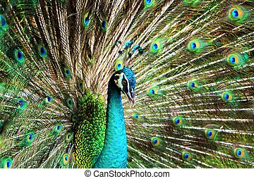 Peacock with feathers stand out