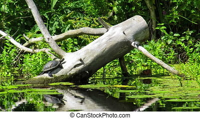 Two turtles sitting on a log in the river. - One big turtle...
