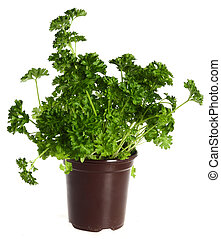 parsley in a pot - A pot of fresh english curly parsley