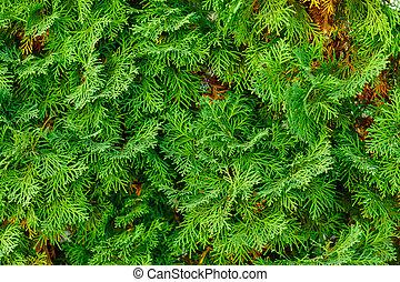 Thuja needles needles texture green