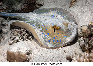 bluespotted stingray and ocean - Bluespotted stingray taken...
