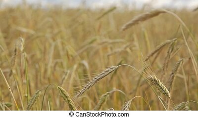 Field of Rye - Close up shot. Yellow ears of rye