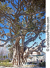 Rubber tree - Andalusia in Spain: A Rubber Tree (Havea...