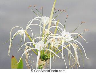 Spider Lily (Hymenocallis speciosa) - Amaryllidaceae, Spider...