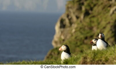 Puffins on the Faroe Islands with landscape and water