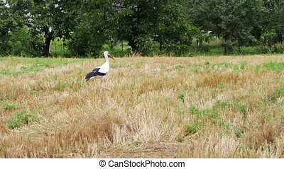 Stork walking on the field - Big stork white with black...