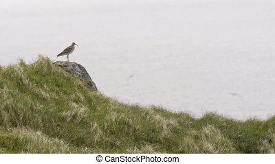 Whimbrel, Numenius phaeopus singing on a stone during...