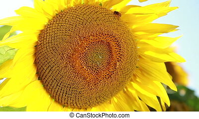 Sunflower - One Sunflower Swaying