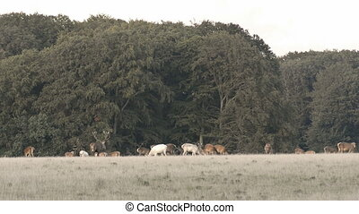 Red deer roaring - Red deer, Cervus elaphus roaring during...