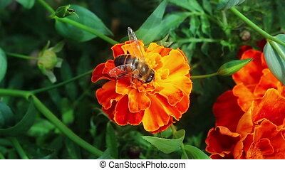 Fly on Flower - Flower fly on a marigold flower