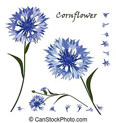 Hand-drawn bouquet of beautiful blue cornflower, isolated pattern