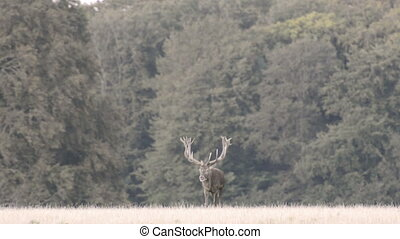 Red deer, Cervus elaphus