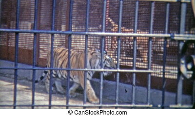 1973: Bengal tiger in confined zoo - Original vintage 8mm...