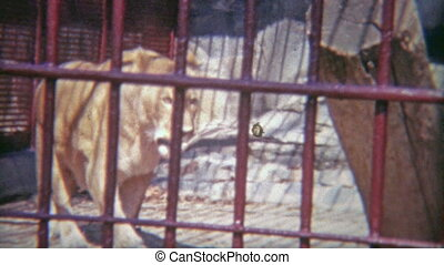 1973: Female lion locked in tiny - Original vintage 8mm film...