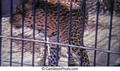 1973: Cheetah pacing around in - Original vintage 8mm film...