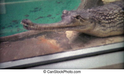 1973: Gharial fish eating crocodile - Original vintage 8mm...