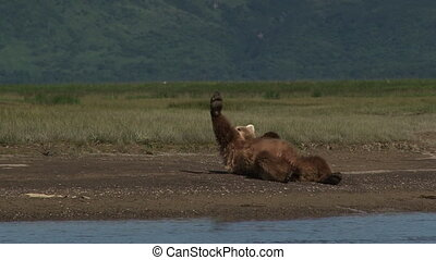 Grizzly Bear scratching himself, - Grizzly Bear Ursus arctos...