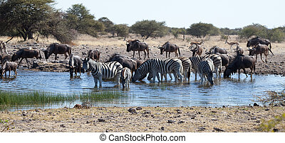 Watering Hole - Several species of Mammals surround water...