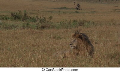 Lionlooking around. - Lion ( Panthera leo) lying in...