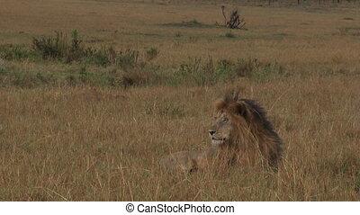 Lionlooking around.